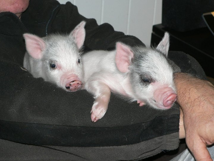 two of our darling pigs.